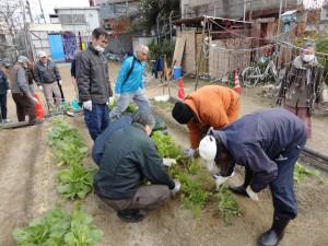 131217農作業 水菜収穫